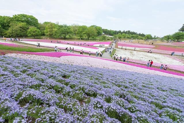 超広角レンズを持って秩父の羊山公園で芝桜を撮影してきた