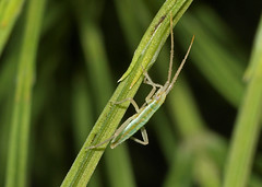 arthropod, animal, grass, invertebrate, macro photography, mantis, green, fauna, close-up,