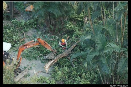剷樹現場照。攝影:Munch