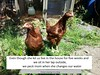chickenshame01
