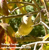 Orange-crowned Warbler in lilacs