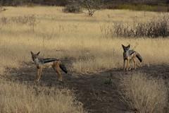 Black-backed jackal, Ngorongoro Conservation Area (2)