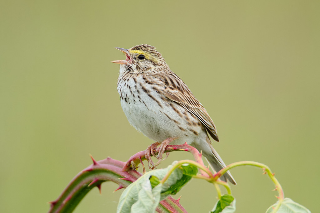 A savannah sparrow sings while perched on a blackberry vine