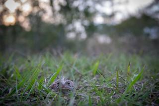Anaxyrus terrestris (Southern Toad)