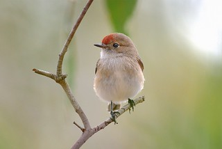 Red-capped Robin: Female