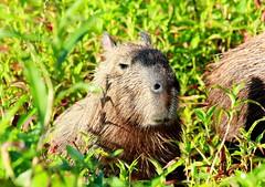 animal, grass, rodent, fauna, capybara, whiskers, wildlife,