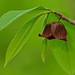 Pawpaw -- Asimina triloba by Lee Casebere