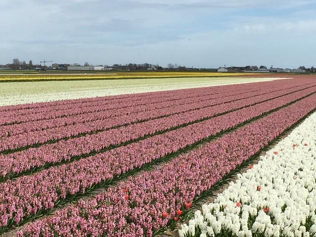 Hyacinth farm