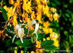 Blooming Honeysuckle