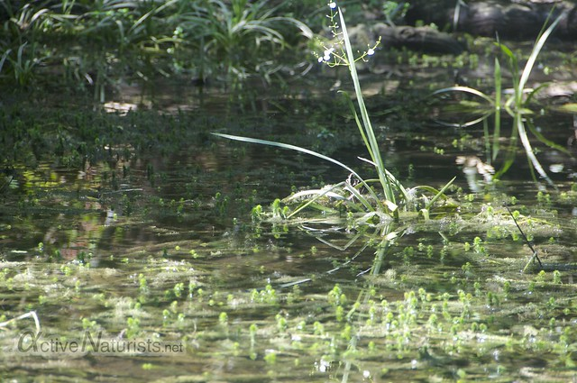 view 0008 Gator Hook Trail, Big Cypress National Preserve, Florida, USA