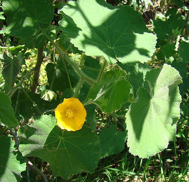 Header of Abutilon grandifolium