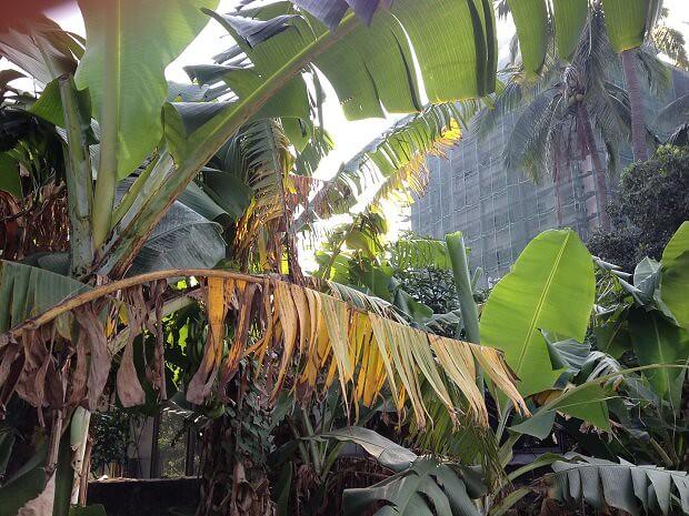 160711 台湾バナナの木1