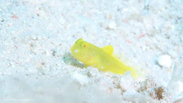 口元に米粒付けてたギンガハゼ幼魚黄色バージョン♪