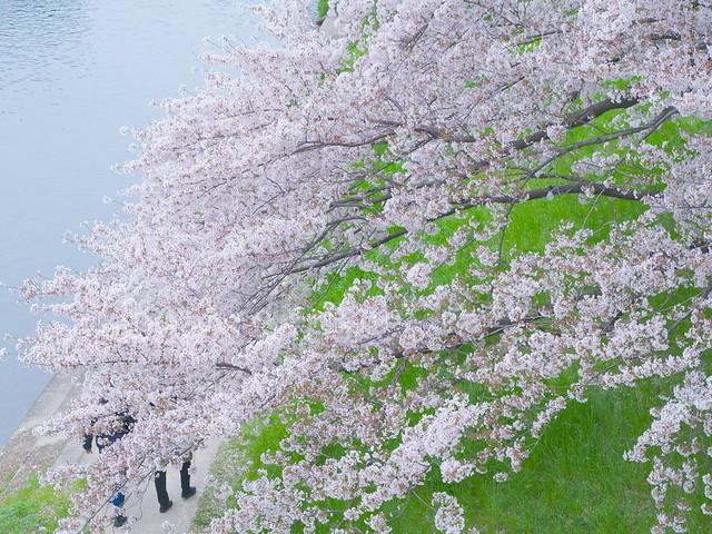 150404_Sakura_and_ 9