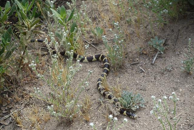King snake, m452