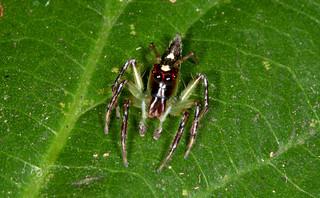 Acragas sp. (male)
