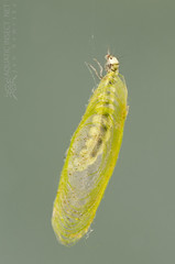 Micro caddisfly larva (Trichoptera, Agraylea) in the shelter made of silk and filamentous algae