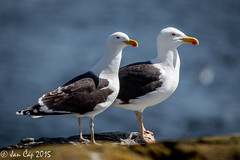 A pair of gulls