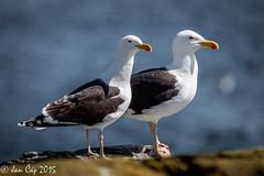 A pair of gulls