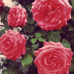 "My beautiful ""America"" Roses :heart_eyes: #flowers #roses #america #garden #beautiful #coral #picoftheday"