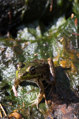 Green Frog (Lithobates clamitans(