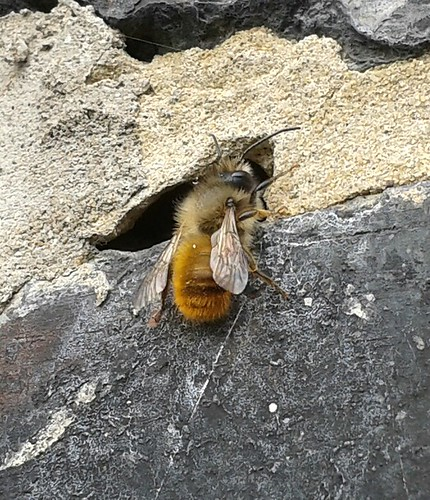 A Bee that I saw this afternoon him and his mates have made a hive in a gap in my brickwork at home.