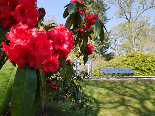 2015-04-23 Rhododendrons at Exbury North (5) © Dave Marsh