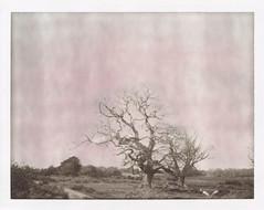 Bare oaks