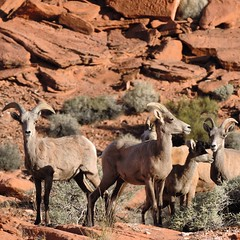 animal, argali, mammal, horn, barbary sheep, goats, herd, fauna, wildlife,