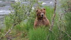 Niedźwiedź grizzli drapie się po plecach