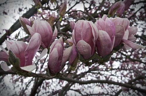 86/365 - Magnolia season