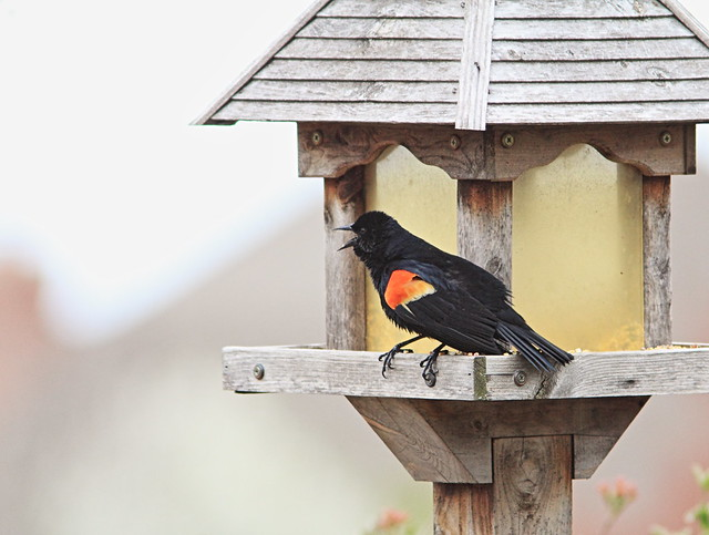 Red-winged Blackbird 20150422