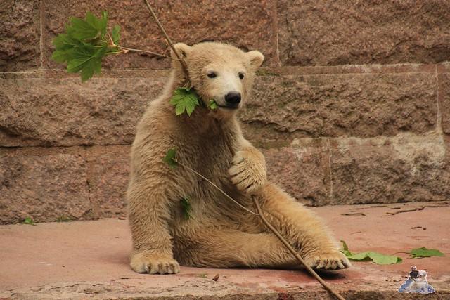 Eisbär Fiete im Zoo Rostock 04.05.2015 149