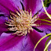 Clematis:  Close up by T. Knight