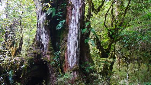 台灣的檜木霧林是世界遺產(圖片攝影:徐嘉君)
