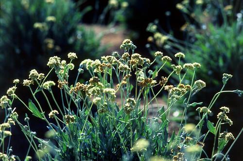 Guayule, a desert shrub