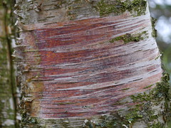 Tree detail - peeled bark