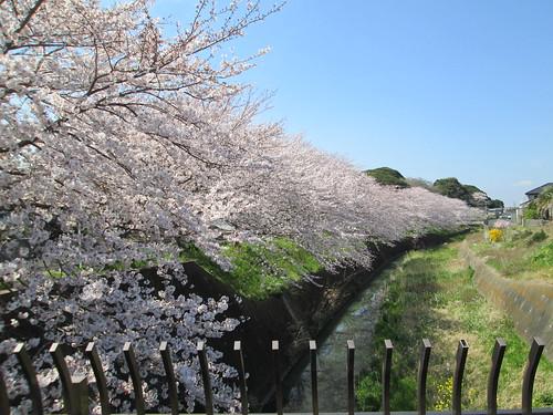1_畑沢川の桜_1