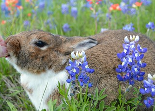 Birthday Bunny in Bluebonnets