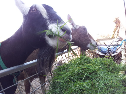 Goats enjoying the mown grass