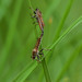 Mating of Robber Fly