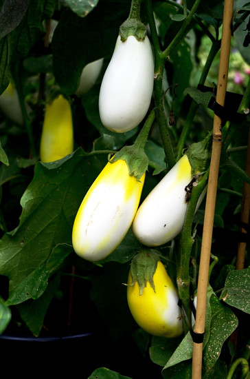 Yellow and white eggplant - Domain 5 4 15 K55111 - 550
