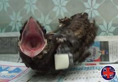 見外敵靠近,夜鷹會張嘴威嚇。圖為普通夜鷹。圖片來源:野生動物急救站