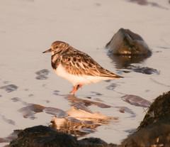 animal, charadriiformes, fauna, ruddy turnstone, red backed sandpiper, calidrid, sandpiper, beak, bird, wildlife,
