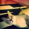 Good morning #DailyShotOfWhiskey #Singapura #cat #PetsOfInstagram #Manhattan #NYC