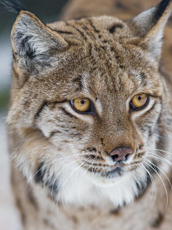 Nice lynx portrait