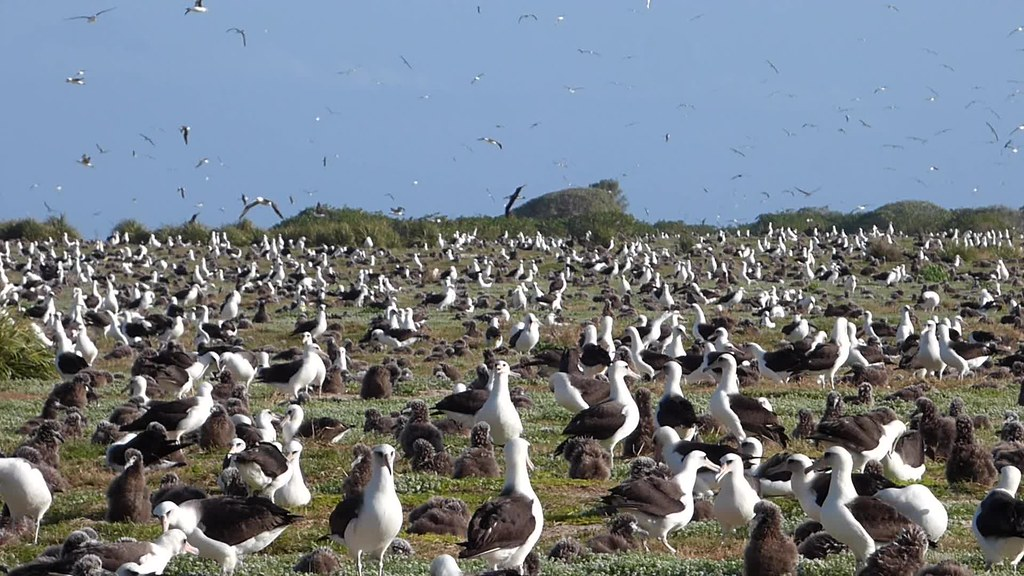 Midway Atoll - Bird Sightings - Mar/Apr 2015