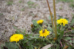 annual plant, dandelion, flower, field, yellow, plant, nature, sow thistles, flatweed, daisy, herb, wildflower, flora, fauna,