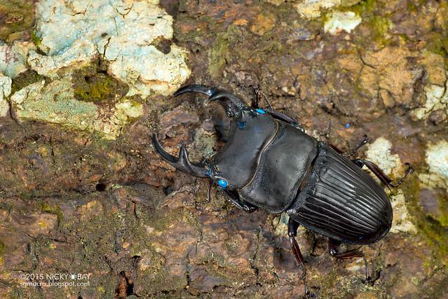 Stag beetle (Aegus sp.) - DSC_8163
