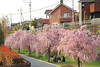 Photo:IMG_0023 枝垂桜 By vicjuan